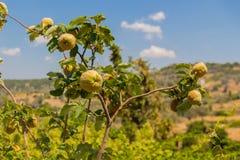 Vijgeboom in Griekenland Stock Afbeelding