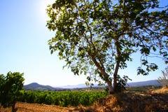 Vijgeboom in wijngaard Royalty-vrije Stock Fotografie