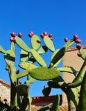 Vijgencactus met rijpe vruchten Royalty-vrije Stock Fotografie