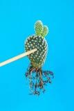 Vijgencactus microdasys door eetstokjes Stock Fotografie