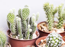 Vijgencactuscactus in pot Stock Fotografie