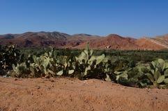 Vijgencactussen en bergen stock foto's