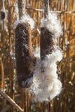 Vijver cattail droog zaad royalty-vrije stock fotografie