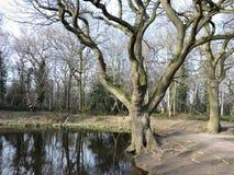 Vijver met bosbomen en bezinning Stock Foto