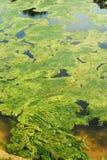 Vijver met groene algen Stock Foto