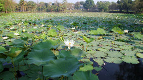 Vijver met lotusbloem Stock Foto