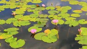 Vijver met lotusbloem stock footage