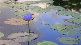 Vijver met lotusbloem stock video