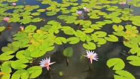 Vijver met lotusbloem stock videobeelden