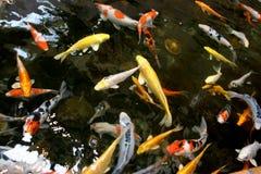 vijver vissen Royalty-vrije Stock Afbeeldingen