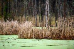 Vijvermoeras met Groen en Gras Stock Foto's