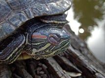 Vijverschildpad die op een logboek dichtbij de scène van de waterkalmte rusten royalty-vrije stock fotografie