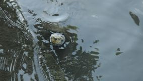 Vijverschildpadden die aan waterspiegel op opiniepeilingsrand drijven stock videobeelden