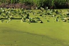 Vijverwater in groen slijm wordt behandeld dat stock afbeelding