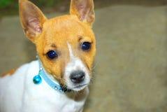 Vijzel het puppy van Russell op Royalty-vrije Stock Afbeelding