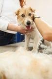 Vijzel Russell Terrier krijgend op zijn haarbesnoeiing Royalty-vrije Stock Fotografie