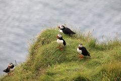 Iceland. Vik / Iceland - August 15, 2017: Puffins at Dyrholaey promontory, Vik, Iceland, Europe royalty free stock images