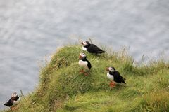 Iceland. Vik / Iceland - August 15, 2017: Puffins at Dyrholaey promontory, Vik, Iceland, Europe royalty free stock photography