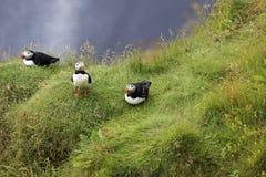 Iceland. Vik / Iceland - August 15, 2017: Puffins at Dyrholaey promontory, Vik, Iceland, Europe stock photos