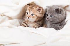 vik kattungar little skotska två Arkivfoton
