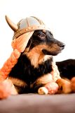 Viking puppy Royalty Free Stock Photo