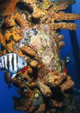 viktig sergeant för fisk Royaltyfri Fotografi