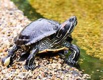 Viktig sköldpadda royaltyfri bild