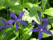 Viktig ssp för Vinca hirsuta eller stor vintergröna med indigoblå blåa kronblad arkivfoto