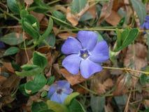 Viktig vintergrönablommaVinca fotografering för bildbyråer