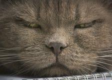 Viktigt framsidan av ett kattslut upp Arkivbild