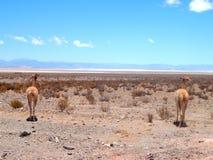 Vikunjaull i den Salta Argentina stäppen Royaltyfri Foto