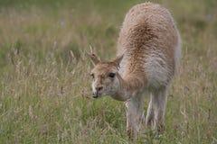 Vikunjaull kamel, stående Fotografering för Bildbyråer