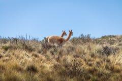 Vikunjaullar nära Serrania de Hornocal, den fjorton färgkullen på Quebrada de Humahuaca - Humahuaca, Jujuy, Argentina royaltyfri bild