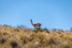 Vikunjaullar nära Serrania de Hornocal, den fjorton färgkullen på Quebrada de Humahuaca - Humahuaca, Jujuy, Argentina royaltyfri foto