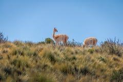 Vikunjaullar nära Serrania de Hornocal, den fjorton färgkullen på Quebrada de Humahuaca - Humahuaca, Jujuy, Argentina royaltyfri fotografi