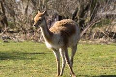 Vikunjaullar VicugnaVicugna, sl?ktingar av laman royaltyfri fotografi