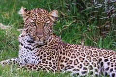 Vila av leopard På gröna örter Fotografering för Bildbyråer