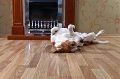 Vila beaglet på trägolv nära till en spis royaltyfria bilder