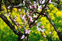Vila da flor do pêssego de Nanhui, Shanghai, China Foto de Stock Royalty Free