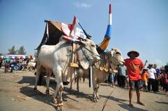 Vila da vaca em Boyolali, Indonésia fotos de stock royalty free