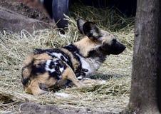 Vila den afrikanska lösa hunden Fotografering för Bildbyråer