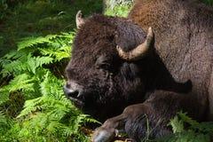 Vila den amerikanska bisonen Royaltyfria Foton