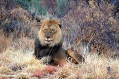 Vila det manliga lejonet i savannahen av Namibia Arkivfoto