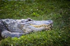 vila för alligator arkivfoton