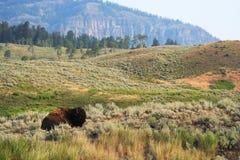 vila för bison Royaltyfri Foto