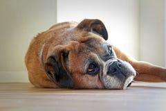 Vila för boxarehund royaltyfria foton