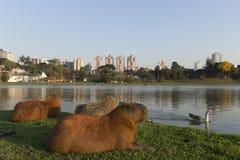 Vila för Capybaras arkivbilder