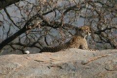 vila för cheetah Royaltyfria Bilder