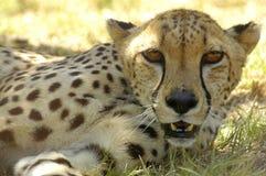 vila för cheetah Fotografering för Bildbyråer