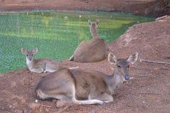 vila för deers Royaltyfri Foto